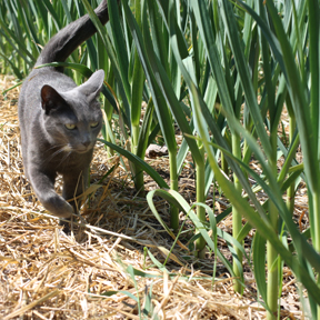 smudge in the garlic patch